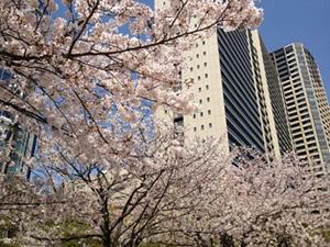 2012年4月の桜